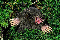 MB05-040z   Star-nosed Mole - at burrow opening - Condylura cristata