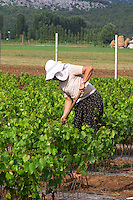 A woman vineyard worker tending to the vines with a tool. Head protected by a sun shade against the heat. Fidal vine nursery and winery, Zejmen, Lezhe. Albania, Balkan, Europe.