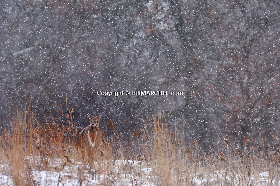 00275-192.20 White-tailed Deer (DIGITAL) Two does are barely visible as they pause while feeding in a snow storm.  H2E1