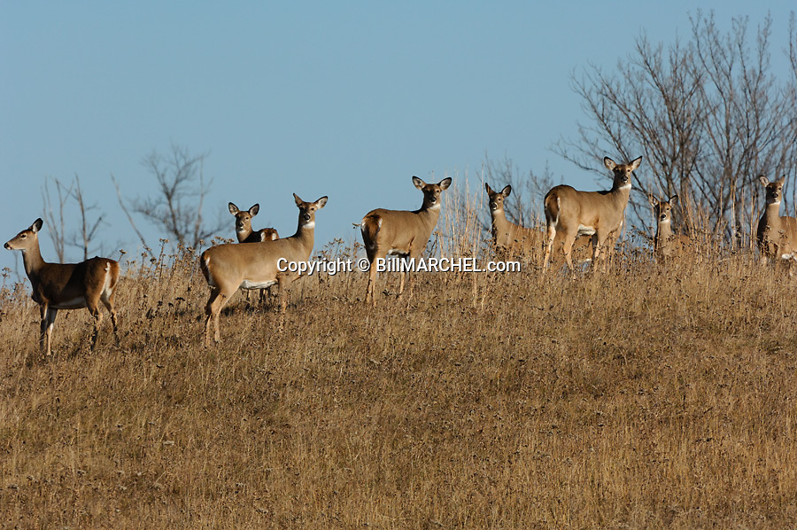00275-193.13 White-tailed Deer (DIGITAL) group of does and fawns are on hill side in field or meadow during fall.  H1E