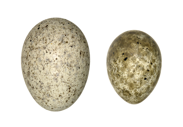 Cuckoo - Cuculus canorus  egg (left)<br /> and host reed warbler egg (right)