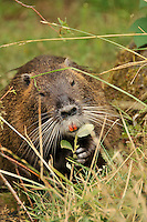 Nutria eating in Mutnomah County, Oregon