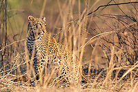 africa, Zambia, South Luangwa National Park, Leopard hunting