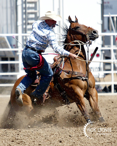 PRCA cowboy Justin Maass turns in a time of 8.3 seconds to win the tie down roping event in short go action at the Greeley Independence Stampede Rodeo on July 4, 2008 in Greeley, Colorado. Justin posted a three run time of 28.7 seconds to earn $5,720.10 and keep him in the top 10 cowboys for the Professional Rodeo Cowboy Association World Standings.