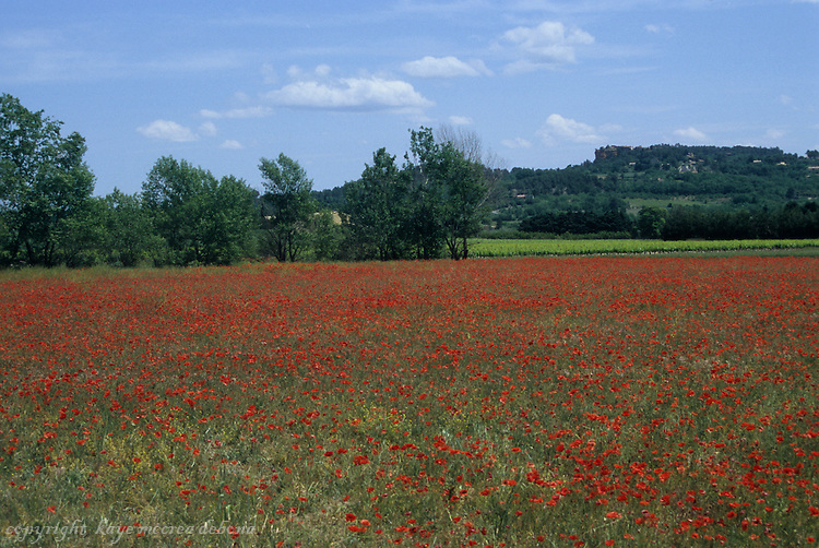 Field of poppies in Provence, France
