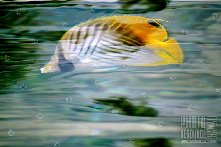 A kikakapu (or Hawaiian butterflyfish) seems to dance in the water as sunlight reflects on the water's surface, Big Island.