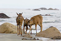 Black-tailed Deer (doe with two 10 month old fawns--they are about ready to leave mom) walking along Olympic National Park beach.  Washington coast.