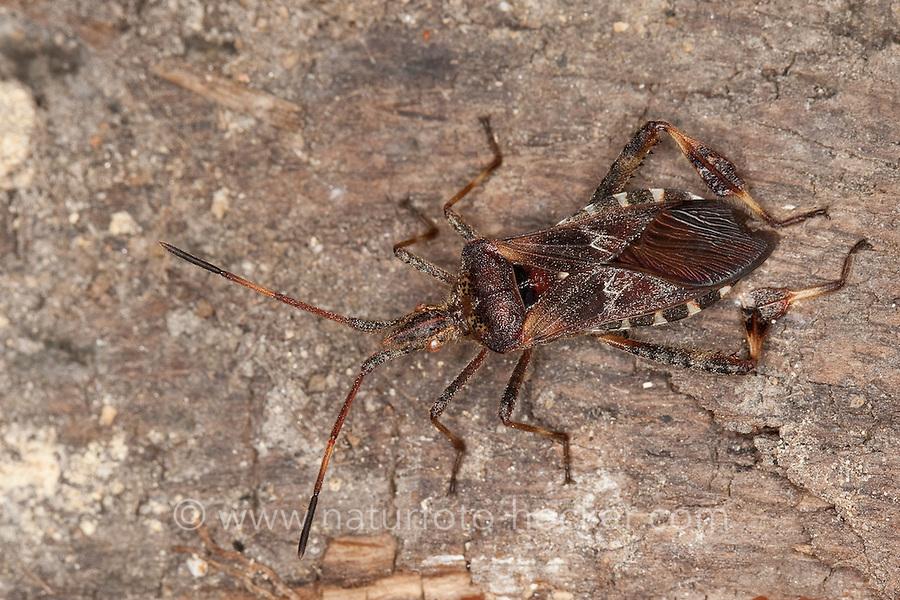 Amerikanische Kiefernwanze, Amerikanische Zapfenwanze, Leptoglossus occidentalis, western conifer seed bug, in Europa eingeschleppte Wanzenart aus Nordamerika
