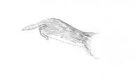 Wezel (Mustela nivalis)