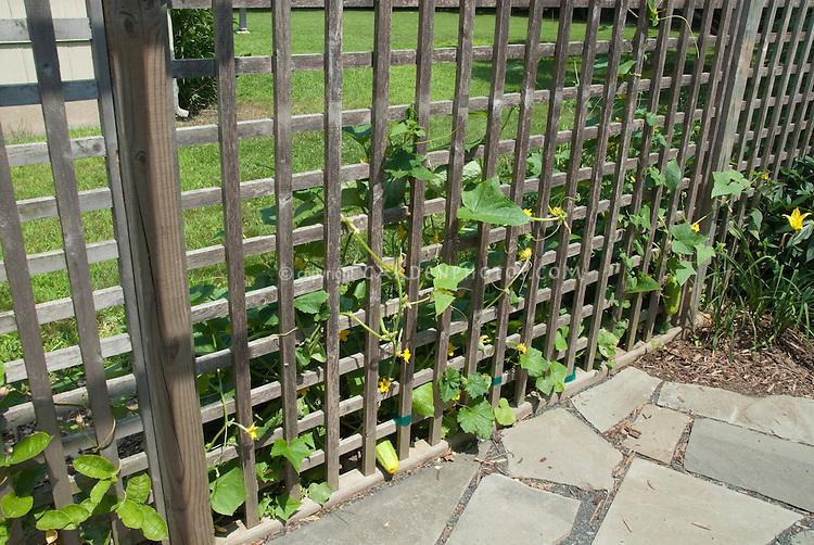 Cucumber Trellis 8087 Jpg Plant Amp Flower Stock