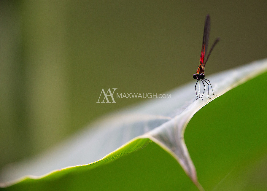 A damselfly known as a Rubyspot perches on a leaf in the rainforest.