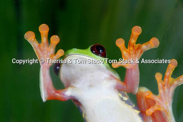 Red Eye Tree Frog, Agalychnis callidryas, Costa Rica