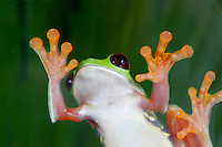 Red Eye Tree Frog, Agalychnis callidryas, Costa Rica