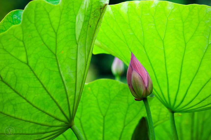 Lotus buds and leaves in Ritsurin Park, Takamatsu, Japan