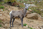 Bighorn Sheep Lamb
