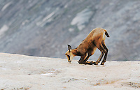 Chamois (Rupicapra rupicapra), young licking minerals, Grimsel, Bern, Switzerland, Europe