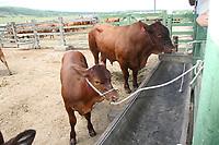 EUNÁPOLIS, BA, 28.03.2008 - GADO - imagem de arquivo de Gado da raça Red tap da fazenda Gameleira na cidade de Eunápolis (Sul da Bahia). (Foto: Joá Souza / Brazil Photo Press).