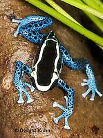 FR24-534z   Dyeing Poison Dart Frog, Dendrobates tinctorius, 'Powder Blue morph'