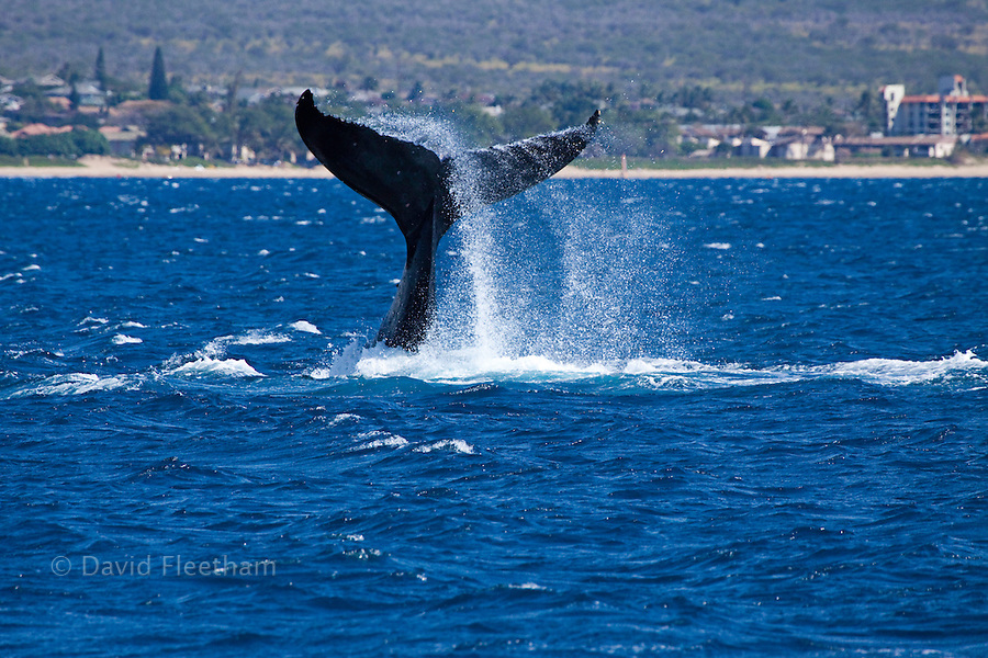 A humpback whale, Megaptera novaeangliae, lifts it's masive tail out of the Pacific off the northern end of Kihei, Maui, Hawaii.