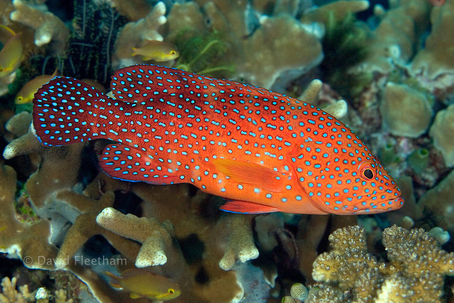 Coral groupers, Cephalopholis miniata, are a common sight on Indonesia's reefs and can be recognised by the pattern of bright blue spots on an orange-red background. Indonesia.