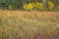 ORCAN_D247 - USA, Oregon, Cascade Range, Wildwood Recreation Site, Cattail marsh and surrounding forest in autumn.
