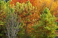 Autumn Trees, Idaho