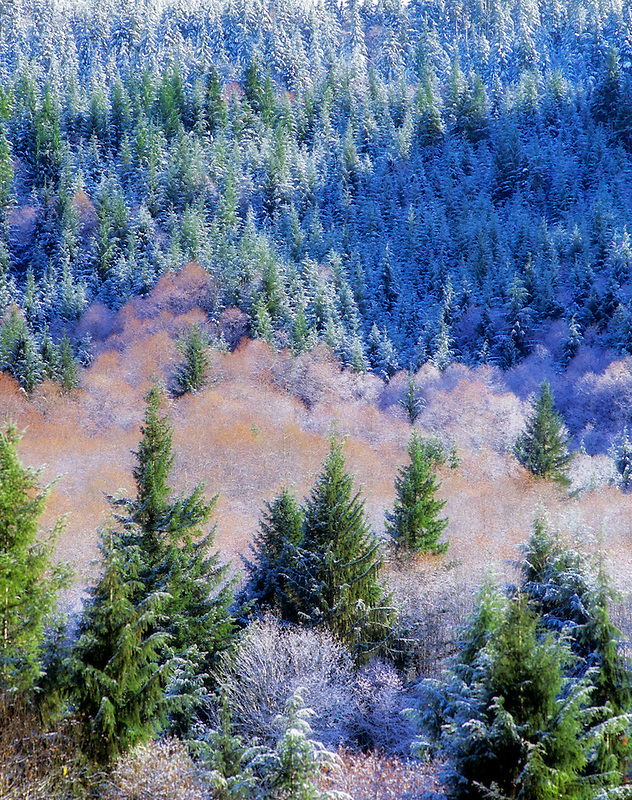 Cascade Mountains with snow and orange color of catkins on alders. Oregon.