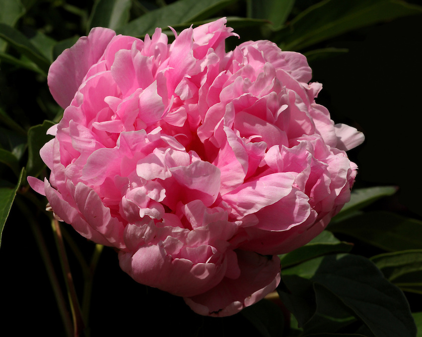 Peony or paeony is a name for plants in the genus Paeonia, the only genus in the flowering plant family Paeoniaceae.