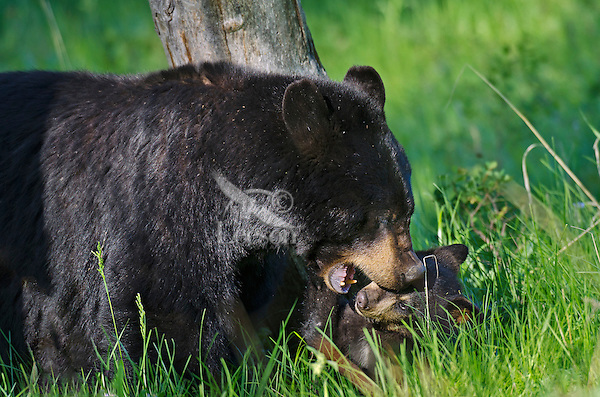 """Wild Black Bear (Ursus americanus) mother playing with cub.  Western U.S., spring. (These are what are known as """"coys""""--cubs of the year.)"""