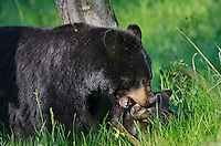 "Wild Black Bear (Ursus americanus) mother playing with cub.  Western U.S., spring. (These are what are known as ""coys""--cubs of the year.)"