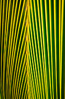 Close up of palm tree leaf. Maui, Hawaii