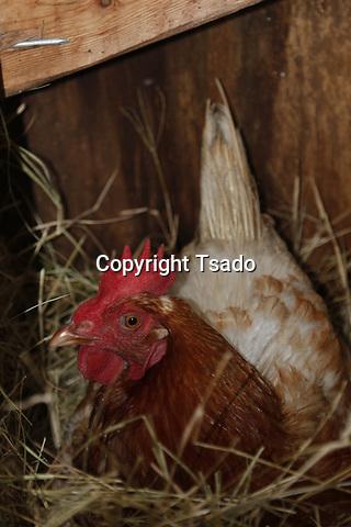 Hen on a nest
