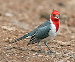 A red-crested cardinal (Paroaria coronata), seen at Makena Landing in Maui, Hawaii