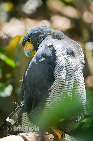 Black-chested hawk, Leucopternus princeps. Captive at Zoo Ave, a zoo near San Jose, Costa Rica, specializing in native birds.