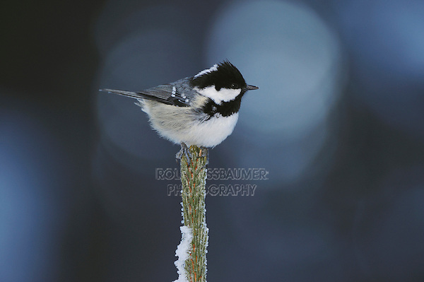 Coal Tit (Parus ater), adult perched on frost covered conifer by minus 15 Celsius, St. Moritz, Switzerland, December 2007