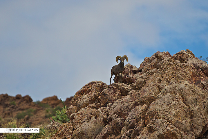 Desert Bighorn ram on top of the rocks
