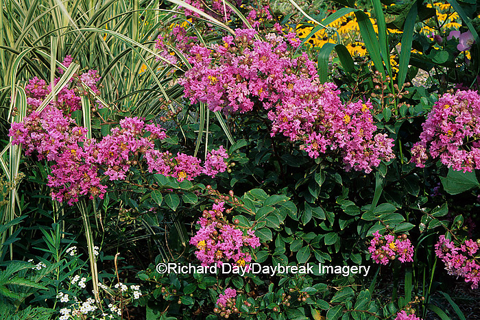 63821-03302 Crape Myrtle (Lagerstroemia pink ruffles)    IL