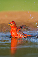 580980039 a wild male summer tanager piranga rubra bathes in a small pond on the laguna seca ranch in the rio grande valley of south texas