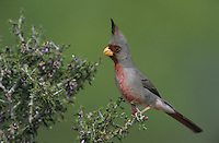 Pyrrhuloxia, Cardinalis sinuatus,male on blooming Guayacan (Guaiacum angustifolium), Starr County, Rio Grande Valley, Texas, USA
