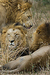 Three adult male African lions, Mala Mala Game Reserve, South Africa