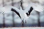 Japan, Hokkaido, red-crowned crane dancing