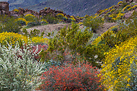 Shrub border Bushmint (Condea emoryi), Chuparosa (Beloperone californica), Brittlebush (Encelia farinosa) and Creosote Bush (Larrea tridentata) in Sonoran Desert at Anza Borrego California State Park spring wildflower superbloom