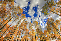 Aspen Forest - Arizona - Flagstaff
