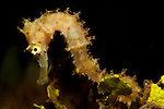 Thorny seahorse: Hippocampus hystrix, pa;e cream in colour, side view against dark background, Komodo National Park