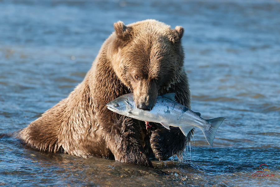 Brown Bear applies the killing bite to a Silver Salmon, Lake Clark National Park, Alaska.  We could hear her breaking the Salmon's back with her powerful jaws.
