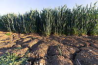 29.5.2020 Cracks in the soil in a Winter wheat crop<br /> ©Tim Scrivener Photographer 07850 303986<br />      ....Covering Agriculture In The UK.