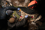 Snow Leopard (Panthera uncia) biologist, Shannon Kachel, and veterinarians, John Ochsenreiter and Ric Berlinski, collaring male at night, Sarychat-Ertash Strict Nature Reserve, Tien Shan Mountains, eastern Kyrgyzstan