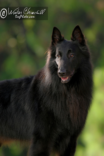 Belgian Sheepdog Shopping cart has 3 Tabs:<br />