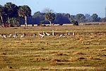 A flock of sandhill crane feed in a pasture.  One of the cranes is vocalizing.