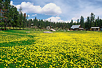 A meadow of dandelions on a rural ranch in Grand County, Colorado.